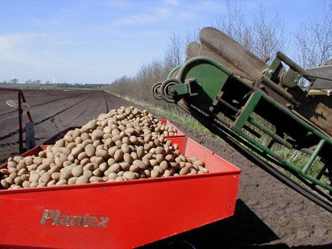 Kartoffeln pflanzen-1
